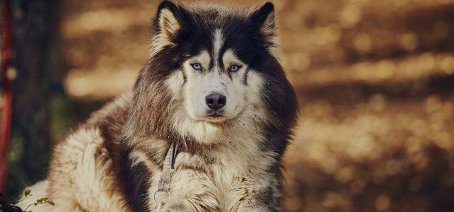 Северные ездовые собаки.
